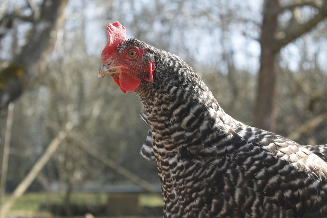 chicken-2176557_1920